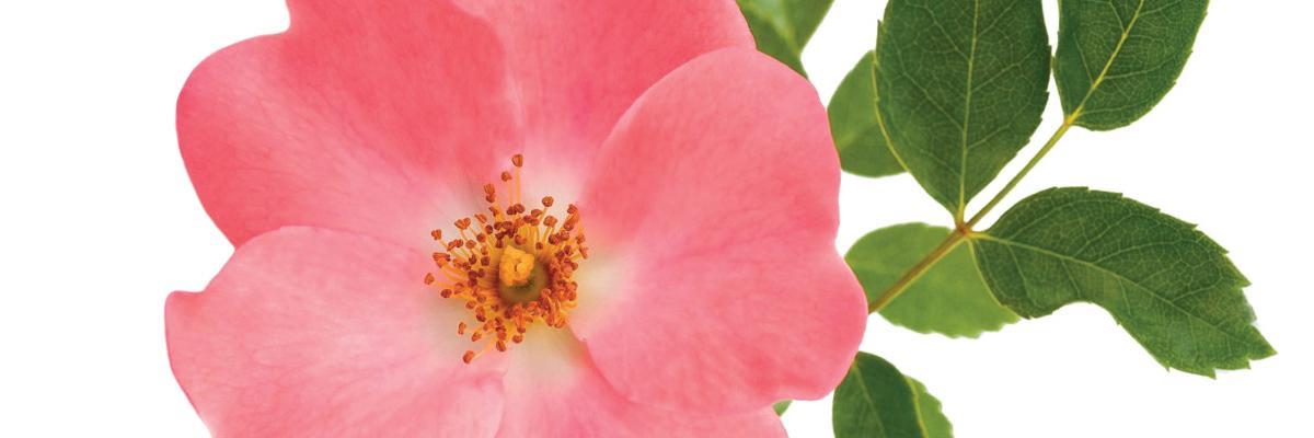 L'huile de rose musquée bio